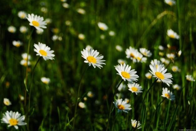 daisies-field-646x433