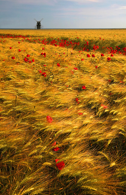 poppies wheat windmills