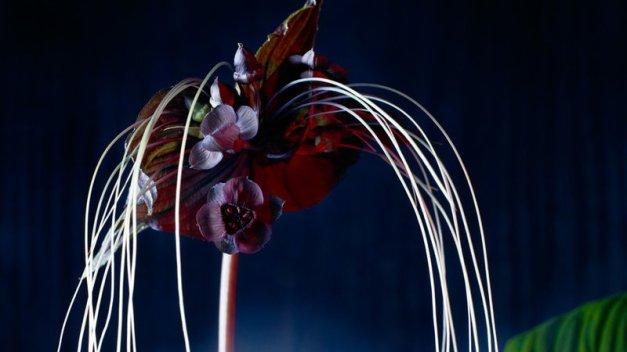 black bat lilies (Tacca chantrieri)