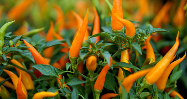 Chili Peppers - Image courtesy of Farmers' Almanac