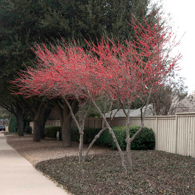 Warren's Red possumhaw holly