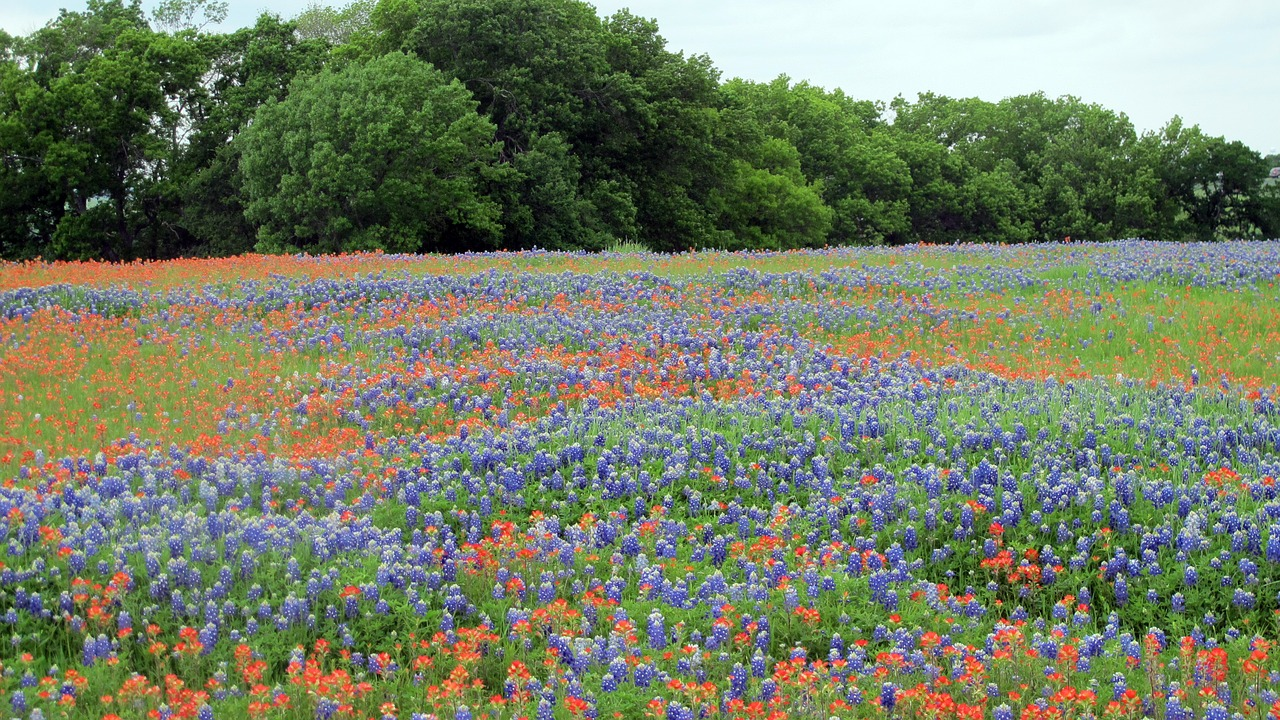 Texas field of Bluebonnets and Indian Paint Brushes.
